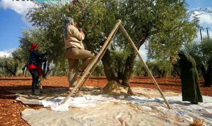 الجندرمة التركية تقتلع 150 شجرة في قرية بعفرين